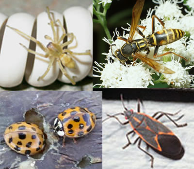Boxelder bugs, asian ladybugs, polistes wasps and spiders